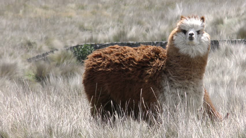 Cute Lama Camelid In Windy Highland Condition , Slow Motion Static Shot