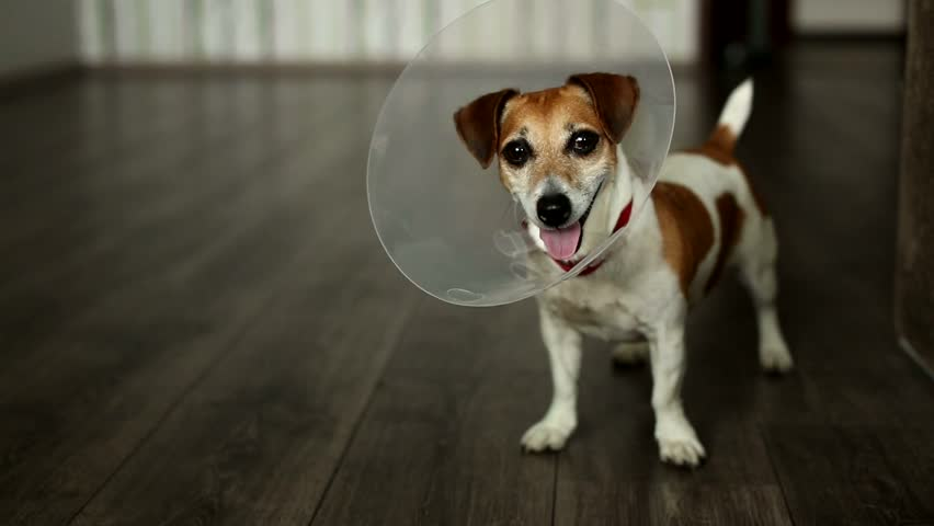 playful dog wags its tail standing and looking closely at the camera. Jack Russell terrier with vet Elizabethan collar. Inside apartment with gray floor. Shallow depth of field