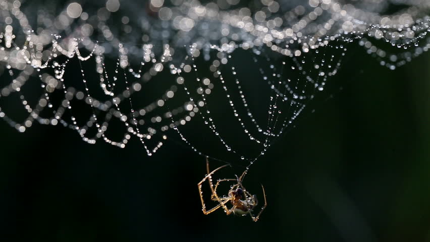 Spider spinning its web with dew in backlit, in a black background.