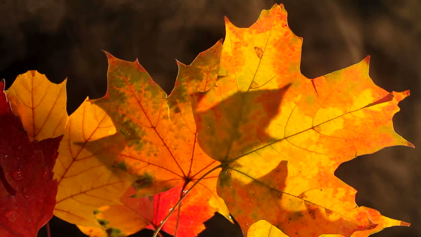 Smoke drifts behind fall leaves, rich with color. 1080p | Shutterstock HD Video #1003516