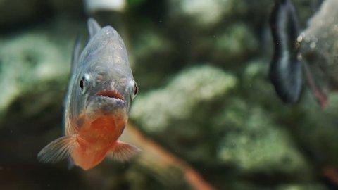 Piranha (serrasalmus nattereri) looking
