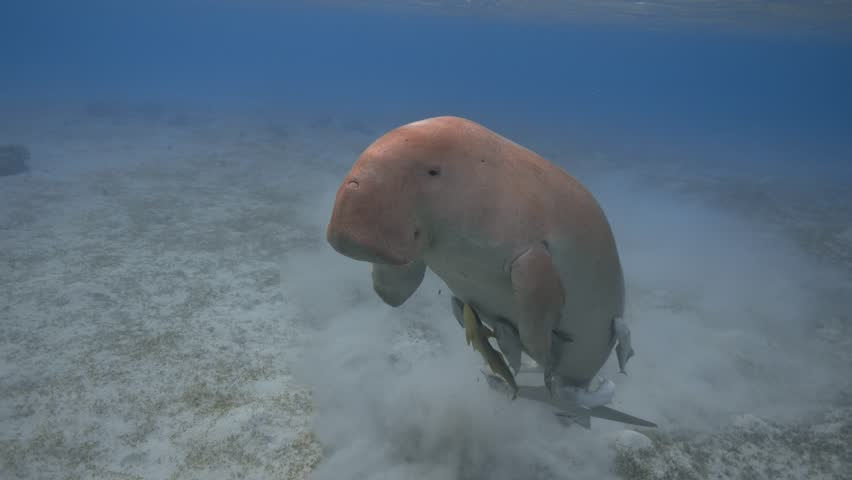 Dugong dugon (seacow or sea cow) breathing in the tropical sea, 4K 2160p video footage