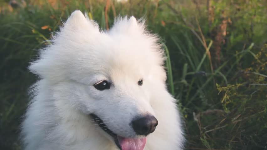 muzzle of a large white and fluffy dog close-up, husky samoyed
