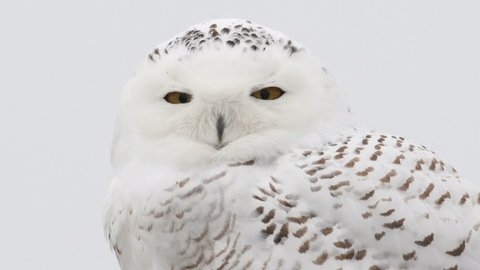 Portrait of a snowy owl perched on a post in winter in Indiana, United States.