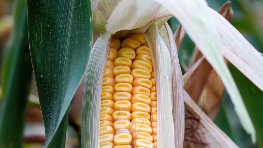 Yellow corn in the open field seen seeds of green leaves   Shutterstock HD Video #1006706806