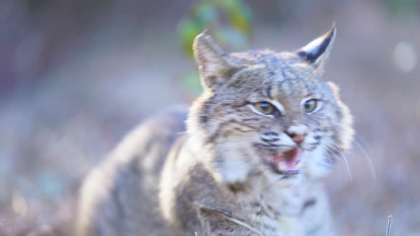 American Bobcat (Lynx rufus) growling and hissing.  January in Georgia.