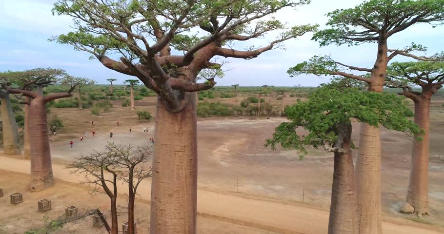 Beautiful Baobab tree in Madagascar, overhead aerial shot 4K
