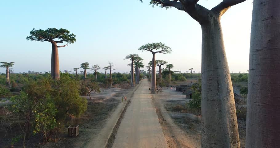 Avenue of Baobab trees in Madagascar, overhead aerial shot