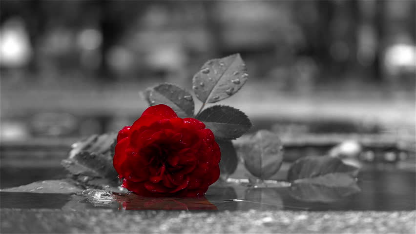 Thrown red rose in puddle on the path, man passing and treading flower and leaving in the blurred background, rose close up, sign of broken love, Sin city effect, black and white, only red color. | Shutterstock HD Video #1006814806