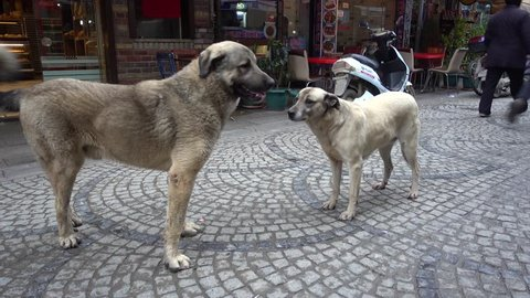 Tuzla, Istanbul, Turkey - 12th of January, 2018:  4K Huge kangal dogs on the streets of Tuzla