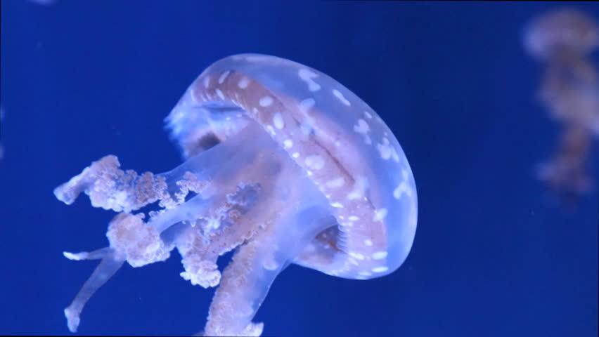 Jellyfish (mastigias) against blue backdrop in ocean aquarium