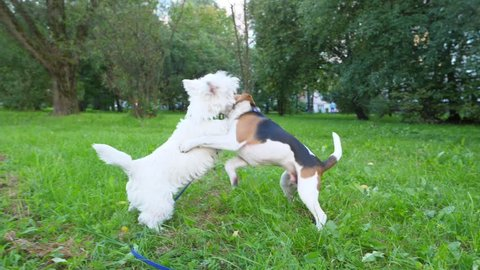 Funny young dogs play and fight on grass, stand on hind legs and hug in roughhousing struggle, slow motion shot. White terrier and small beagle spend time in active wrestling at park lawn