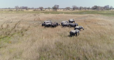 Aerial view of a breeding herd of elephants walking throug the grassy plains of the Okavango Delta
