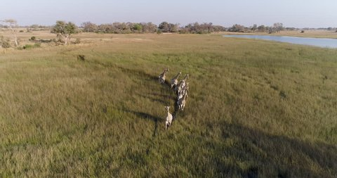 Aerial front view of a small herd of giraffes walking in single file in marshy grasslands of the Okavango Delta, Botswana