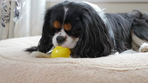 Cavalier King Charles Spaniel playing with toys
