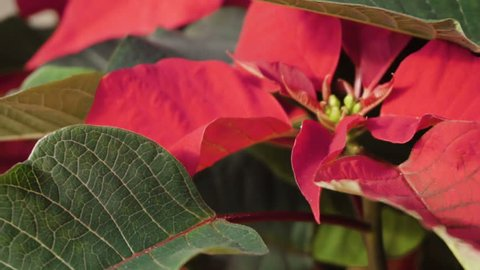 Slow motion. Close up of large poinsettia for Christmas decoration.