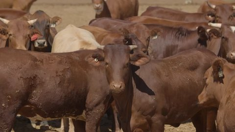 Prime Beef Cattle On Australian Cattle Property
