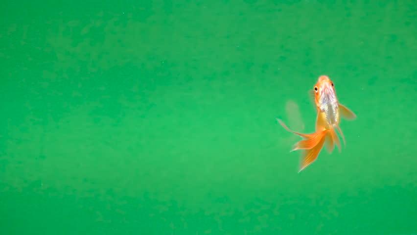 beautiful Golden fish on a green screen, seamless looping