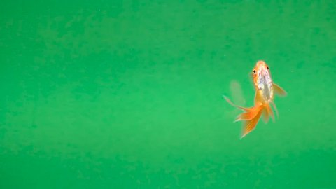 beautiful Golden fish on a green screen, seamless looping