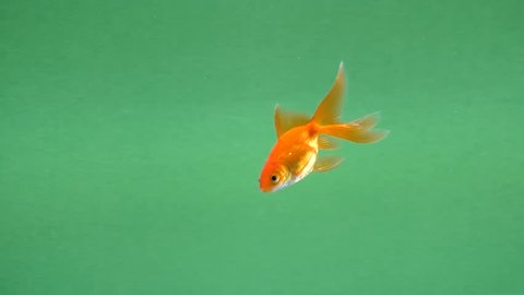 Goldfish swimming slowly from left to right on green screen