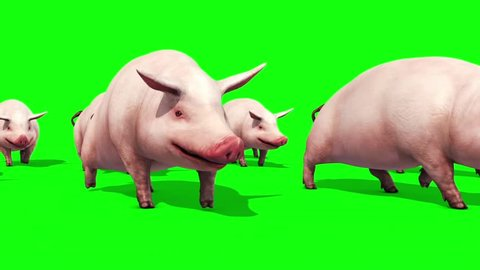 Group of Pigs Animals Farm Walk Green Screen 3D Renderings Animations