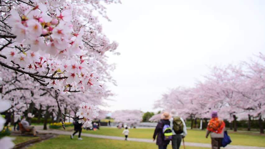 kirschblüten japan