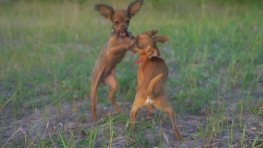 Super slow motion shot of two small dogs Toy Terrier roughhousing on grass, funny battle of young beagle and white terrier.  | Shutterstock HD Video #1007224696