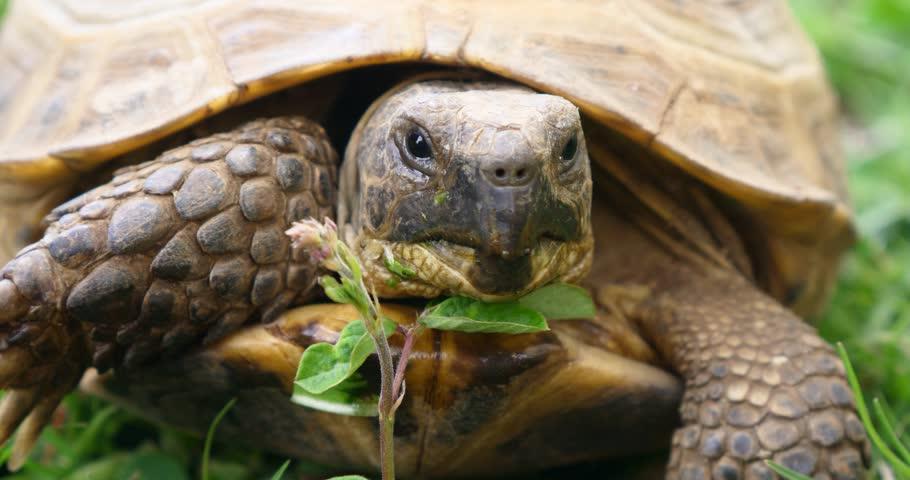 tortoise Turtle Testudo hermanni hermann's  eats watermelon and green leaves cute endangered animal tropical wildlife  #1007234266