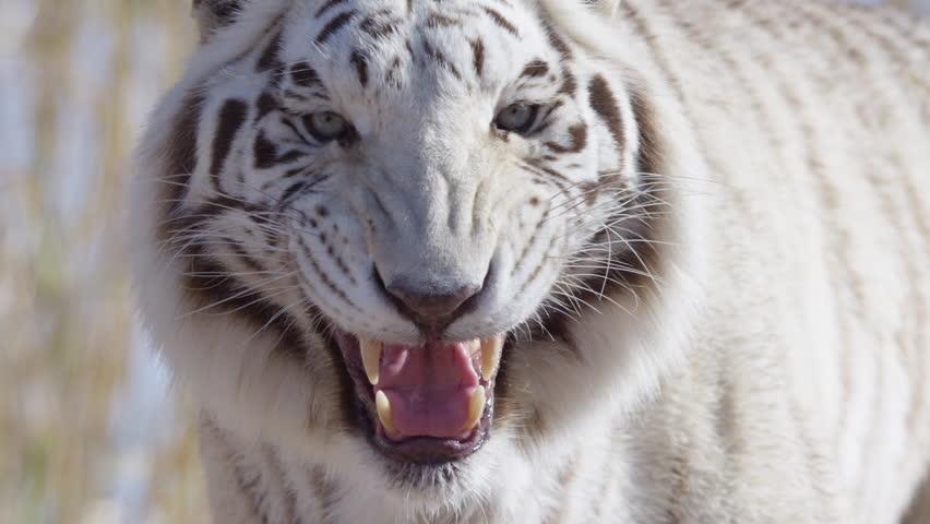 White tiger snarling at the camera
