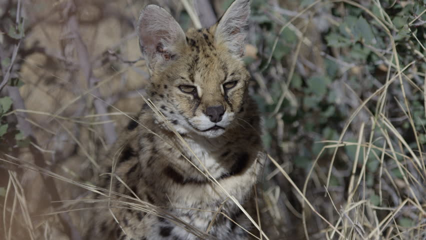 Serval cat in camouflage tall grass hunting prey #1007264716