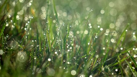 Morning dew drops on grass close up in the morning in Marahau, New Zealand.