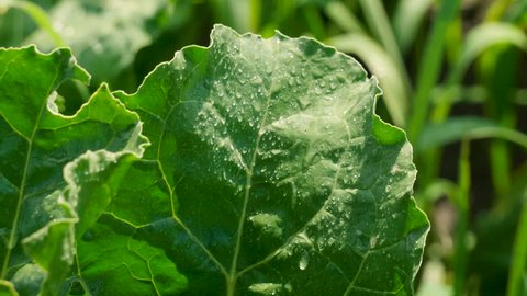 Vegetable growing. Close-up of drops on green leaves of ripening sugar beet. 4K