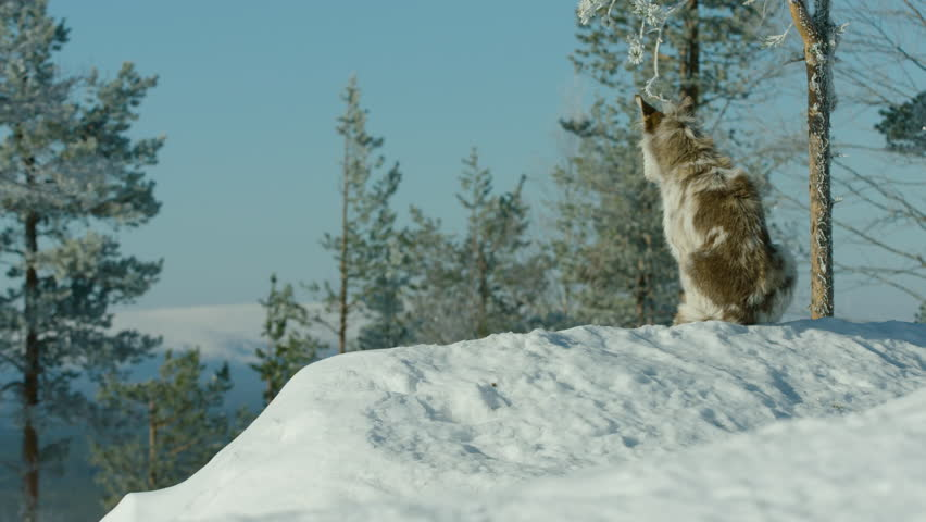 A husky collie dog sits in the snow, in a forest. Shot on the Sony F55 in stunning 4K