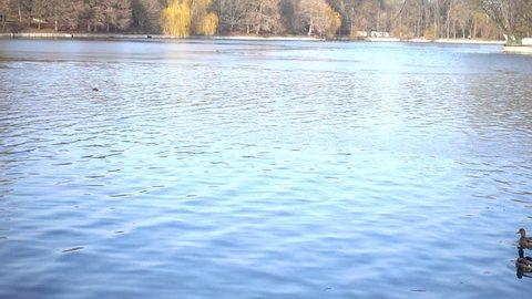 wild ducks on a lake
