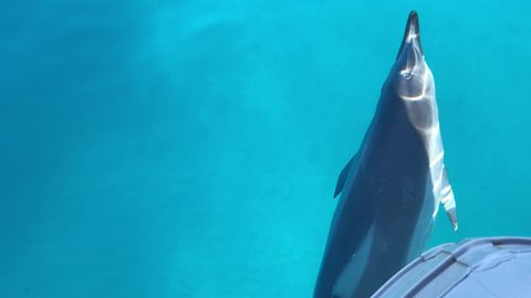 Beautiful spinner dolphins playing in clear blue water On a sunny day