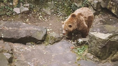 Top View Of Big Male Brown Bear. Bear Walks Near Rock Stones. European Eurasian Brown Russian Bear Ursus Arctos Arctos