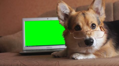 Dog Welsh Corgi Pembroke in glasses lies next to the laptop. Green screen.
