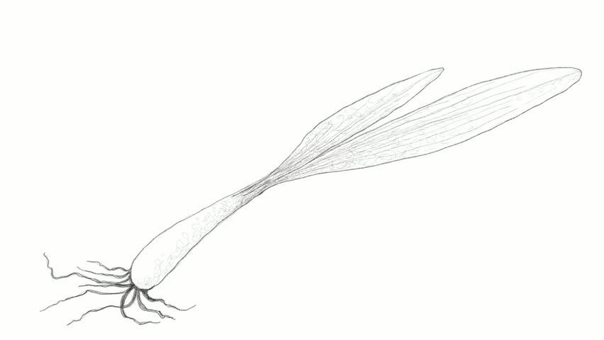 Header of Allium Tricoccum