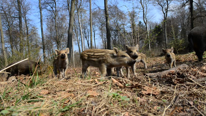 Wild boar with piglets in the forest, wide angle lens, spring, (sus scrofa)