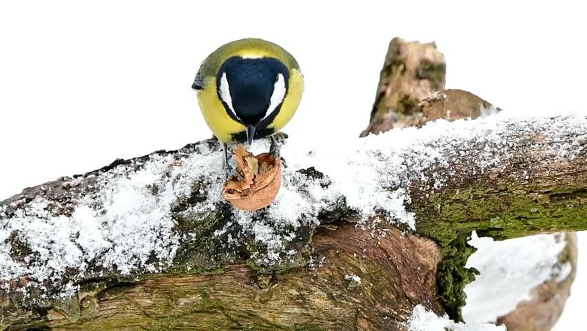 grat tit with walnut in its claws