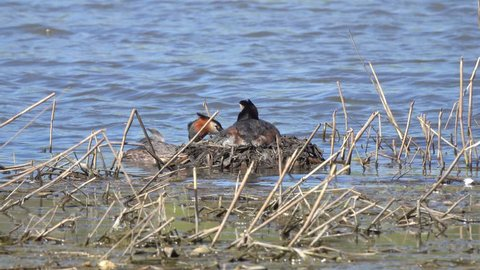 Pair of birds Great crested grebe (Podiceps cristatus) on the nest with eggs