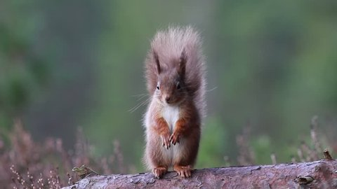 Red squirrel, Sciurus Vulgaris, sitting and walking along pine branch near heather in the forests of cairngorms national, scotland