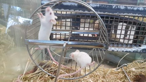 Rats running on a wheel