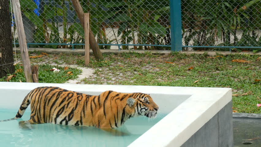 A tiger walking in a blue pool