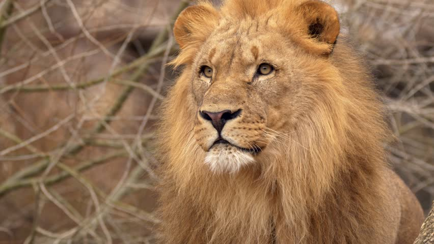 Southwest African lion gaze #1007742016