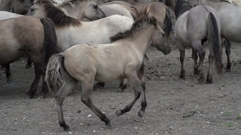 Konik foal horses playing in the Oostvaardersplassen in slow motion