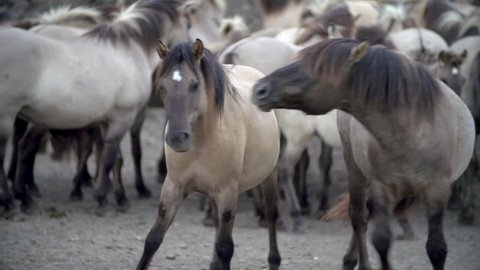 Konik horses in the Oostvaardersplassen in slow motion