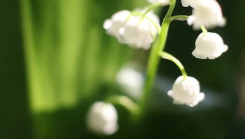 video lilies of the valley in the forest