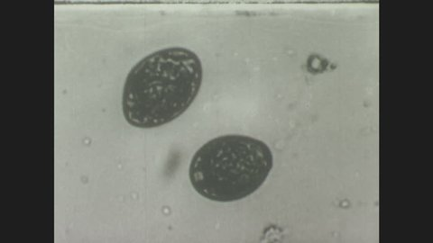 1940s: Tapeworm egg under microscope hatches, operculum opens, embryo squeezes out slowly.