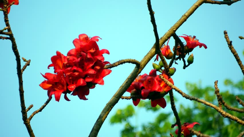 Ceiba red in Thailand.